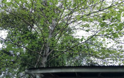 Overhanging branches can really damage your roof! Is it time for a trim?
